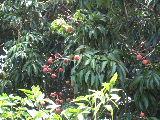 ライチの木です