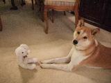ホストファミリーの家の犬。 柴犬の「スモウ」です。