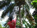 ココナッツをとるBrad